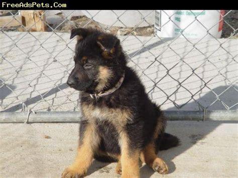 baby german shepherd puppies for sale dogs breed german shepherd gender age baby akc german shepherd