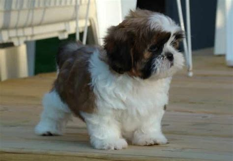 shih tzu grown size miniature dogs that stay small breeds picture