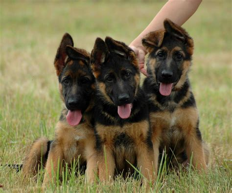 best guard breeds for families with children 10 best guard breeds for you and your family