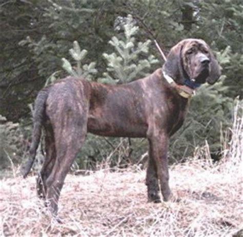 plott hound puppies for sale plott hound