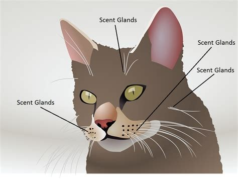 scent glands on a cats face