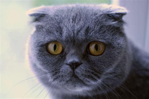 File:Scottish Fold cat (blue)   Wikimedia Commons