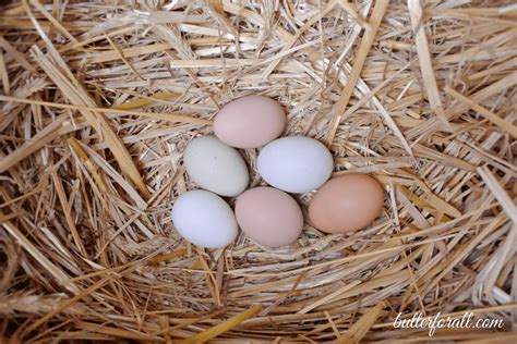 raising backyard chickens for eggs from to happy