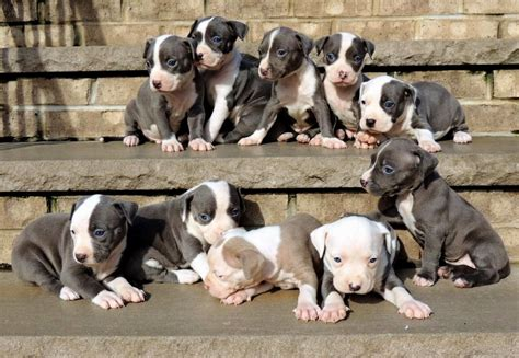 blue nose pitbull puppies for sale in nj blue nose pitbull puppies for sale in nj breeds picture
