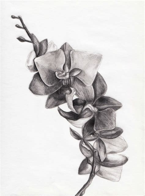 pencil drawings tattoo designs orchid orchidaceae pencil and in color