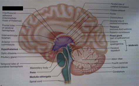 midsagittal section midsagittal section of the brain flashcards quizlet