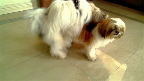 shih tzu mating shih tzu mating w o shooter