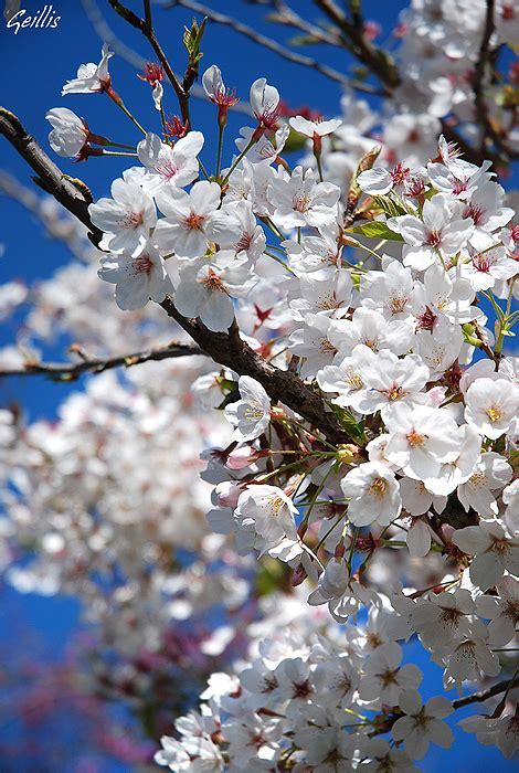 fiori di ciliegio giapponesi immagini fiori di ciliegio giapponese