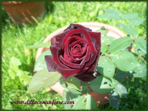 rosa nera fiore sfondi per il desktop a tema floreale sfondi di natale