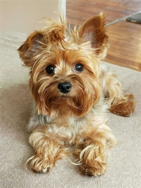 yorkie house tn 12 best grayson s yorkies sweetwater tn images on yorkie yorkies and