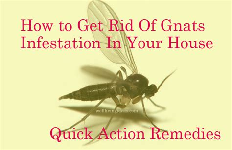 quick action home remedies   rid  gnats