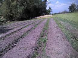 Bibit Bawang Merah Kapur 10 cara menanam jagung hibrida panduan lengkap