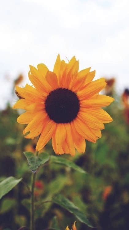 sunflowers background sunflower background