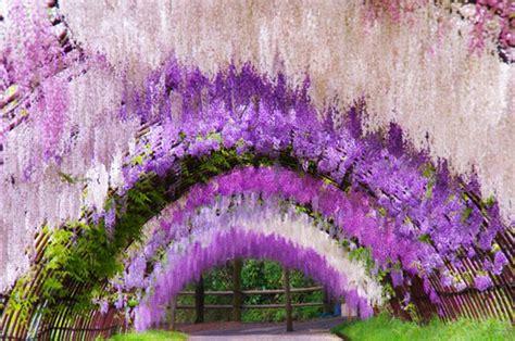 flower tunnel japan a colorful walk wisteria tunnel at kawachi fuji gardens