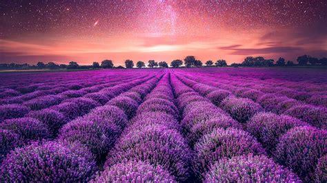 wallpaper lavender farm lavender fields starry sky