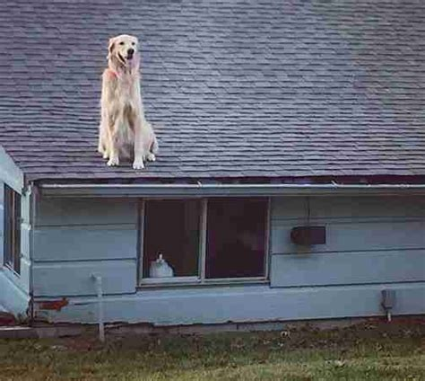 roof jumping dog huckleberry startles passersby huck the golden retriever loves chilling out on his roof
