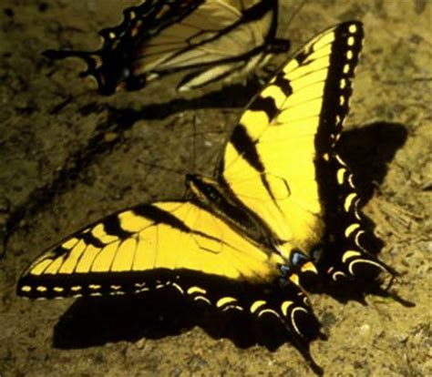 tigre y mariposa imagenes mariposa tigre 187 mariposapedia