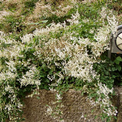 blühende kletterpflanzen winterhart mehrjährig clematis immergr 252 n winterhart clematis winterhart