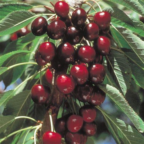 5 year cherry tree stella sweet cherry cherry trees stark bro s