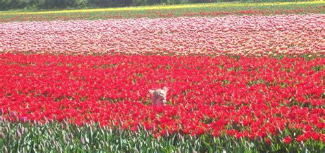 ci di fiori olanda fiore in mezzo ai fiori viaggi vacanze e turismo