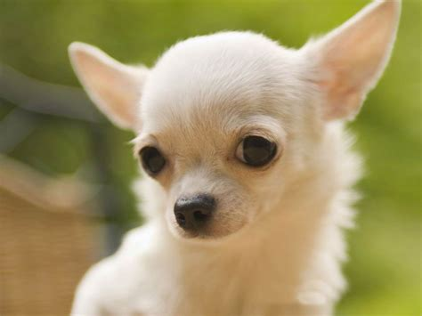 chiwawa puppies chihuahua breed dogs animals wiki pictures stories