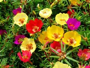 portulaca grandiflora moss rose eleven o clock world