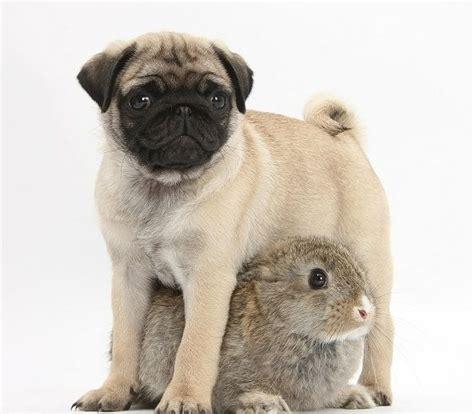 pug bunny pug bunny puggies