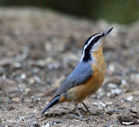 red breasted nuthatch jet eliot