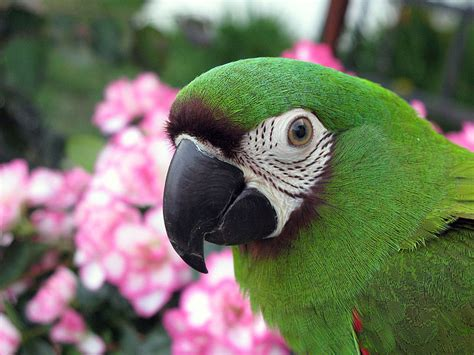 macaw severe macaw information for kids
