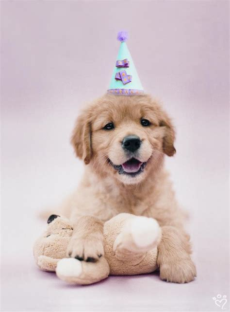 puppy birthday pin by henry on goldens