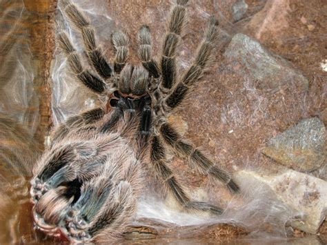 panoramio photo of molting tarantula
