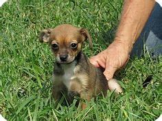 boston terrier puppies ct bo chi boston terrier chihuahua mix so awh