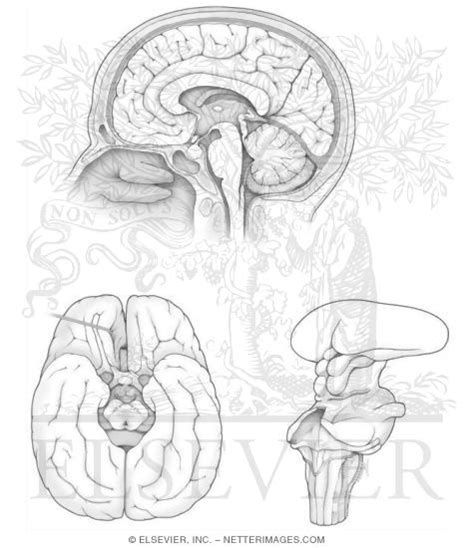 netter coloring book midsagittal and bassal brain anatomy