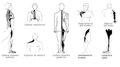 cadenas musculares miembro superior pdf cadenas musculares entrenamiento