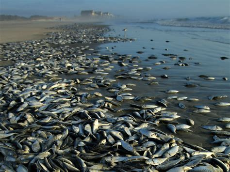 dead of thousands of dead fish wash ashore in s c photo 1 pictures cbs news
