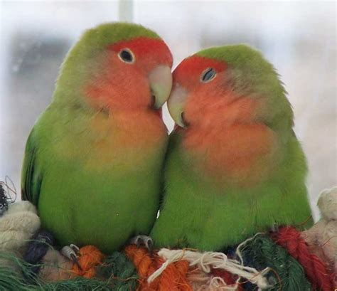 lovebirds a cute a day