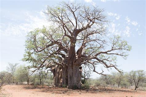 render forest free photo tree boabab landscape africa free image