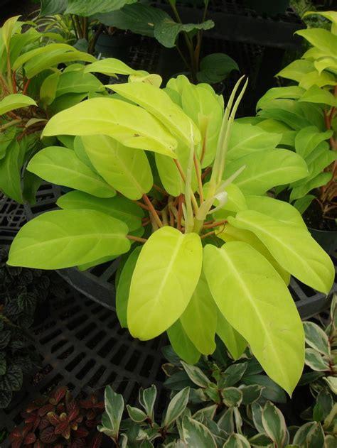 Philodenron Lemon photo of the entire plant of philodendron lemon lime