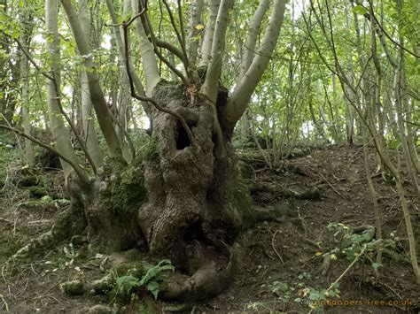 woodland tree an ent tree trees woodland and forests wallpaper