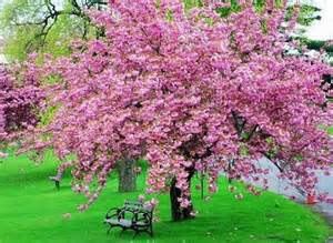 japanese cherry blossom tree flowers pinterest