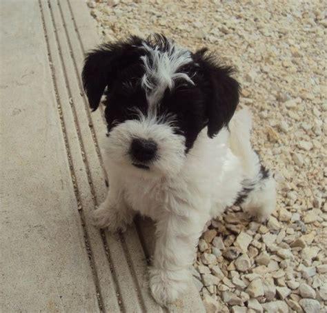 hypoallergenic puppies for sale kijiji adorable hypoallergenic puppies for sale winnipeg future pet