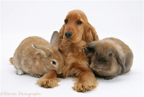 Pets: Red English Cocker Spaniel with two rabbits photo ...