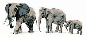 le elefant encyclop 233 die larousse en ligne 233 l 233 phant elephantus
