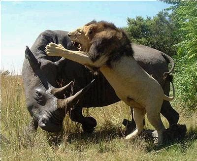 imagenes leones peleando duelo entre un rinoceronte y una manada de leones videos