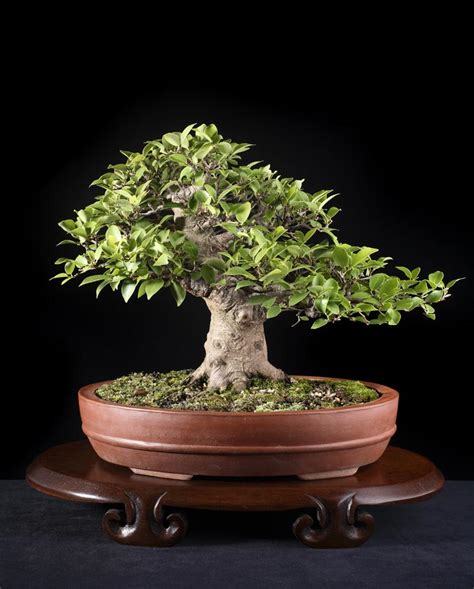 Pohon Ginseng ficus plant bonsai www imgkid the image kid has it
