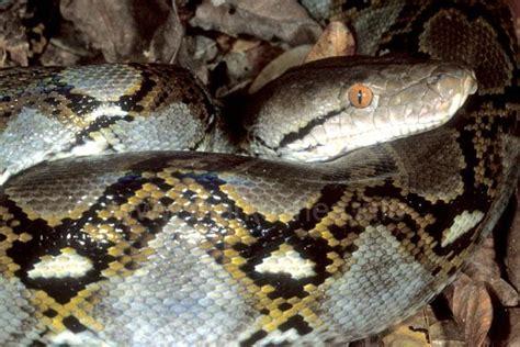python heat l o shea the official website