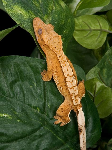 Crested Gecko Shedding by Crested Geckos C2 Citrus Glow