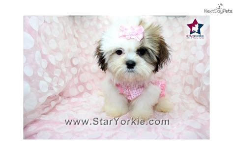 teacup shih tzu puppies for sale in california teacup shih tzu puppies for sale in los angeles california