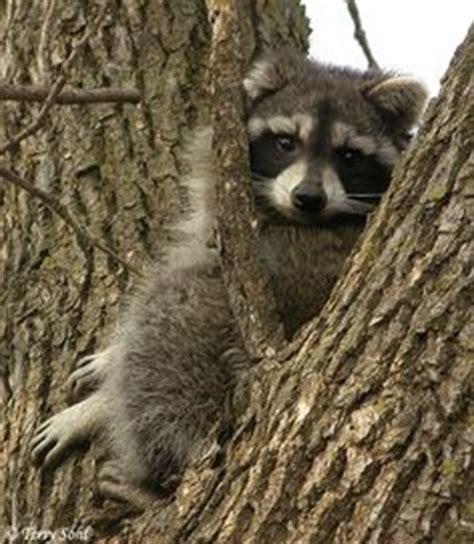 raccoon  pinterest raccoons racoon  porter airlines