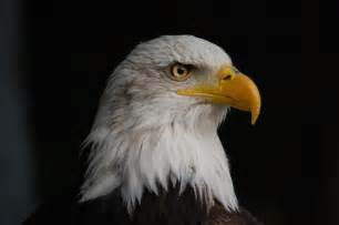 United States Of America National Flower - american bald eagle the symbol of the united sta by